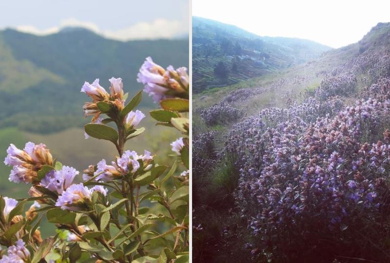 Неелакуринджи цветение фото