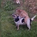 пума нападение на собаку в Подмосковье